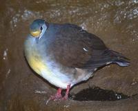 Gallicolumba tristigmata - Sulawesi Ground-Dove