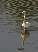 Image of: Egretta garzetta (little egret)
