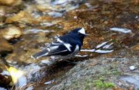 Image of: Enicurus scouleri (little forktail)