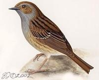 Image of: Prunella modularis (dunnock;hedge sparrow)