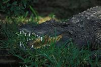 Image of: Crocodylus siamensis (Siamese crocodile)