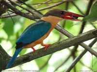 Stork-billed Kingfisher - Halcyon capensis