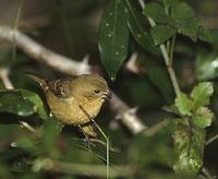 White-collared Seedeater (Sporophila torqueola) photo
