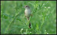 Graceful Prinia !