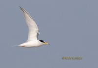 Little tern C20D 03479.jpg