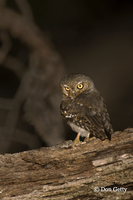 : Micrathene whitneyi; Elf Owl