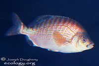 : Hypsurus caryi; Rainbow Seaperch