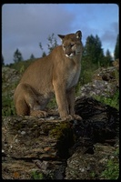 : Puma concolor; Mountain Lion
