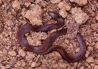 : Virginia valeriae; Smooth Earth Snake