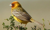 Red headed Bunting - Emberiza bruniceps - Gandam - Haryana Birds - North