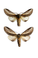 Pheosia tremula - Swallow Prominent