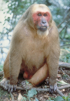 Stump-tailed macaque (Macaca arctoides)
