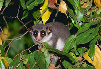 photograph of a fat-tailed dwarf lemur : Cheirogaleus medius