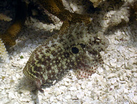 Salarias ceramensis, Seram blenny: fisheries, aquarium