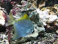 Monodactylus argenteus - Diamond Moonfish