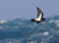 Black-bellied Storm-Petrel (Fregetta tropica) photo