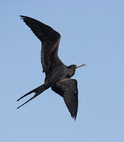 Great Frigatebird (Fregata minor) photo