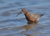 Curlew Sandpiper (Calidris ferruginea) photo