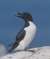 Razorbill (Alca torda) photo