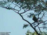 Channel-billed Toucan - Ramphastos vitellinus