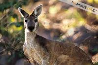 Antilopine Wallaroo (Macropus antilopinus) photo