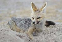 Photograph of a Cape Fox lying by its den