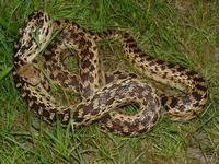 : Pituophis catenifer catenifer; Pacific Gopher Snake