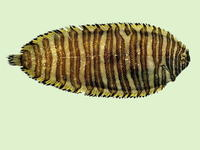 Zebrias japonica, Wavyband sole: fisheries