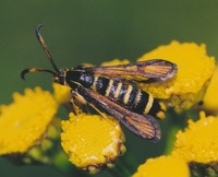 Bembecia ichneumoniformis - Six-belted Clearwing