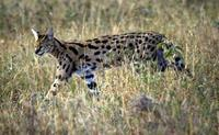 Image of: Leptailurus serval (serval)