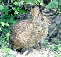 Image of: Sylvilagus palustris (marsh rabbit)