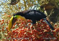 Ramphastos swainsonii - Chestnut-mandibled Toucan