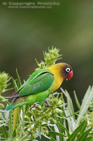 Agapornis personata - Yellow-collared Lovebird