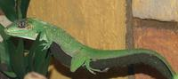 Image of: Anolis equestris (knight anole)