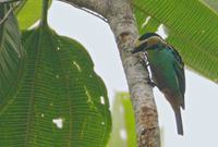 Golden-eared Tanager (Tangara chrysotis) photo
