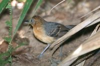 Black-headed Antbird - Percnostola rufifrons