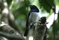 Black-throated Wattle-eye - Platysteira peltata