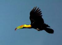 Keel-billed Toucan on the up-flap