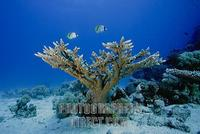 Butterflyfishes swim above a stony coral , Acropora stock photo