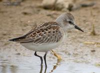 Red-Necked Stint Calidris ruficollis 좀도요