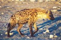 Photograph of a spotted hyaena