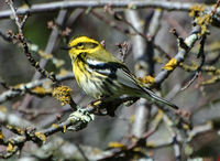 : Dendroica townsendi; Townsend's Warbler