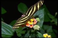 : Heliconius charithonia; Zebra Longwing Butterfly