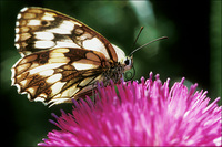 : Melanargia galanthea; Marbled White