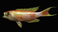 Callanthias ruber, Parrot seaperch: fisheries, gamefish