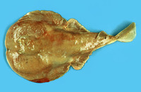 Narke japonica, Japanese sleeper ray: fisheries