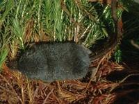 Image of: Sorex dispar (long-tailed shrew)