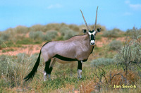 Oryx gazella - South African Oryx