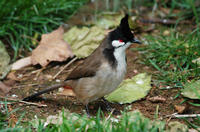 Image of: Pycnonotus jocosus (red-whiskered bulbul)