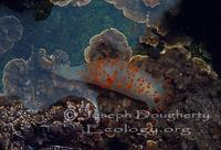 Image of: Triopha catalinae (sea-clown triopha)
